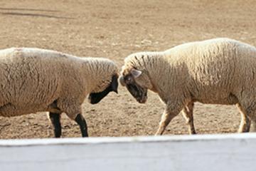 闘争心むきだしの羊