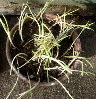 植木鉢 ネギ