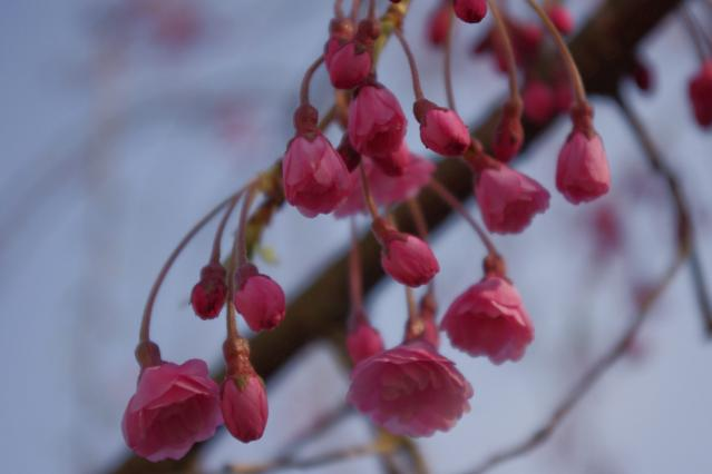 しだれ桜 (2)