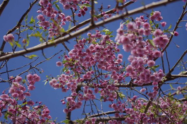 しだれ桜 (3)