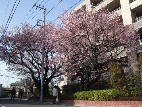 桜・前景500