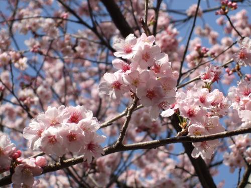 桜と青空・500