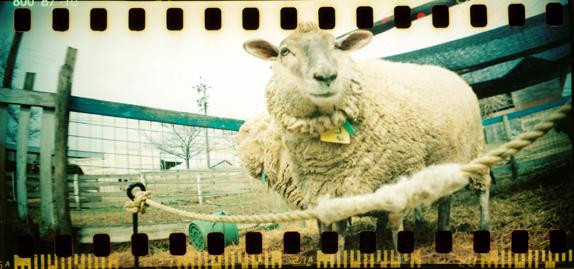 羊さん広角