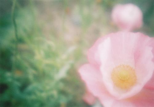 フォギー花