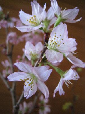 東海桜-1