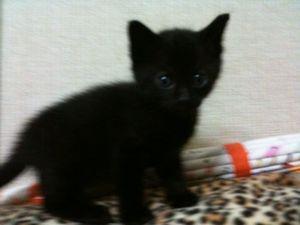 黒♀1.5ヶ月