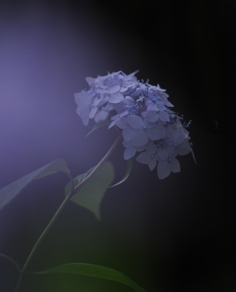 紫陽花73