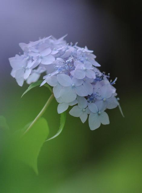 紫陽花81