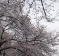2013の桜(15)