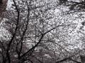 2013の桜(17)
