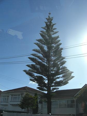 Norfork Pinetree1