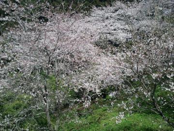 12.4.2桜