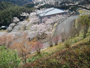 12.4.3高岡桜3