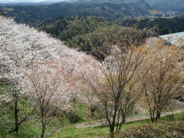 12.4.3高岡桜2