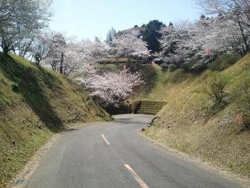 12.4.3高岡桜1