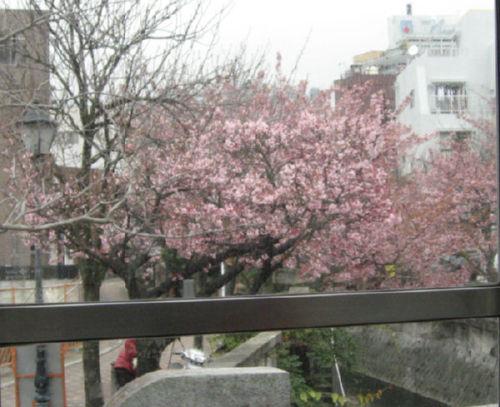 熱海桜 095