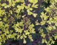 葉牡丹の花 038