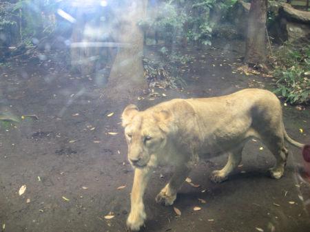 ライオン 098