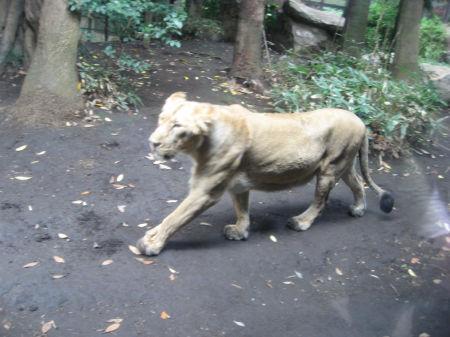 ライオン 108