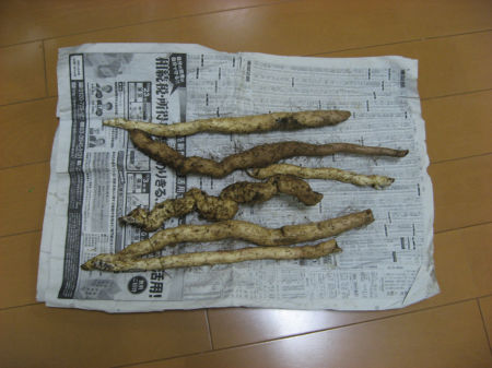 自然薯 187
