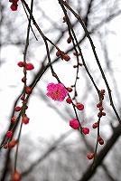 紅梅が咲きました