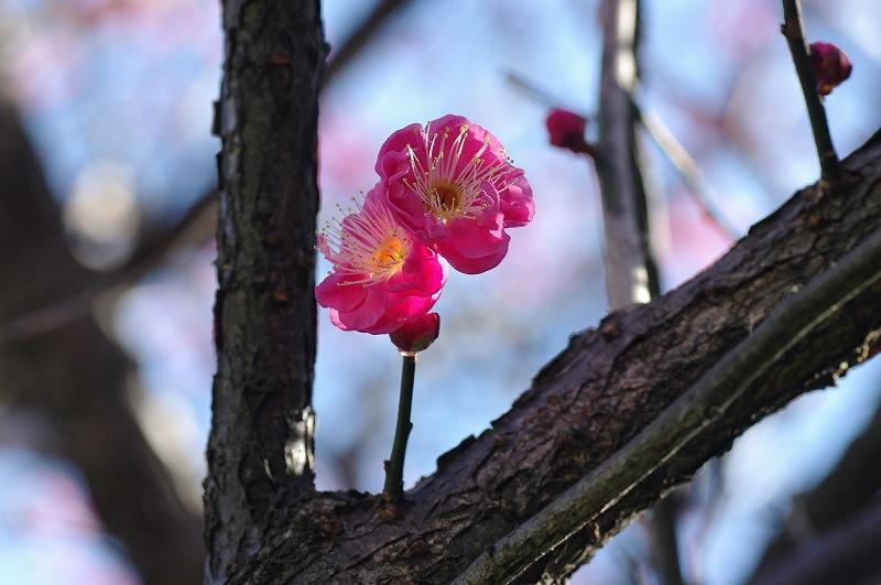 紅梅のお花