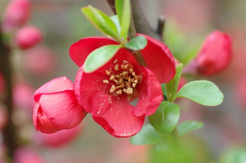 赤いぼけの花
