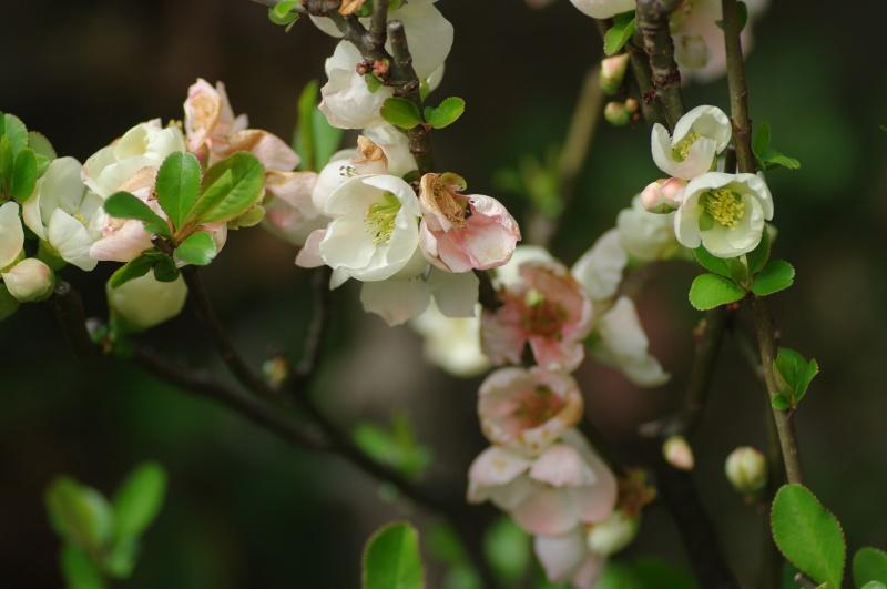 白いぼけの花