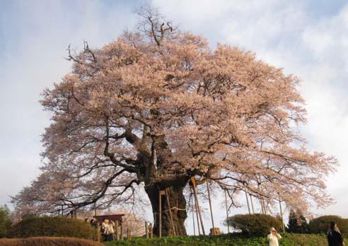 醍醐桜 4照