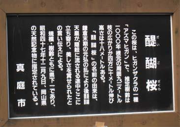 醍醐桜説明2