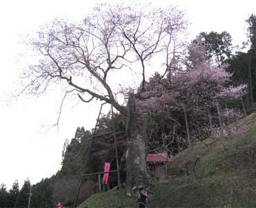岩井畝 桜2