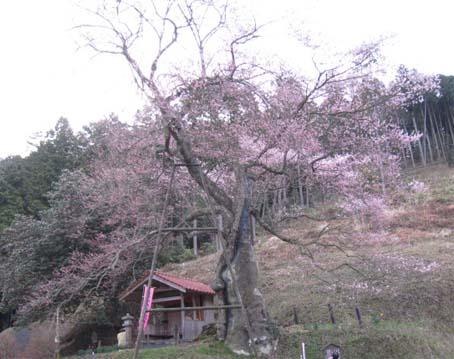 岩井畝 桜 1