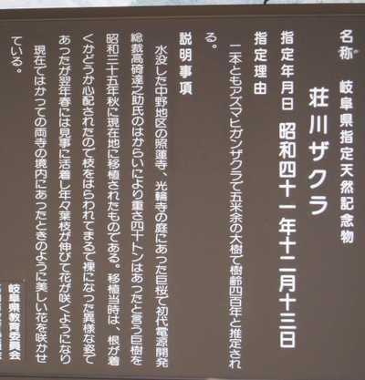 荘川桜説明2