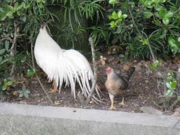 神宮の鶏3