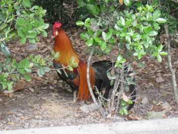 神宮の鶏2