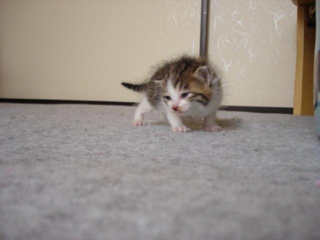 流山遺棄猫 チロリン