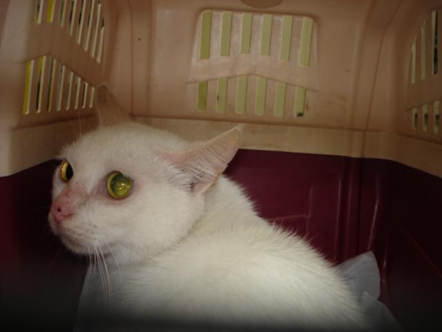 住宅猫 白猫♀