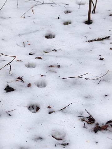 タヌキ足跡1