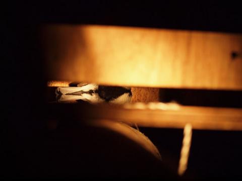 コウモリ巣箱シジュウカラ
