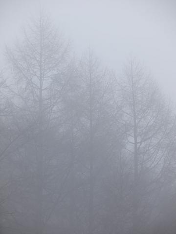 霧のカラマツ