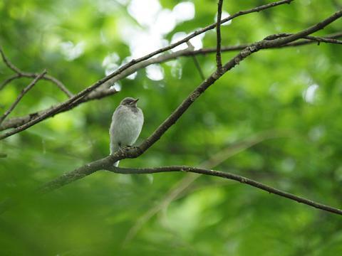 ハクセキレイ幼鳥1