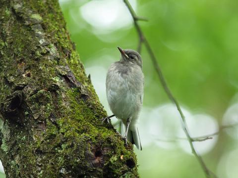 ハクセキレイ幼鳥2