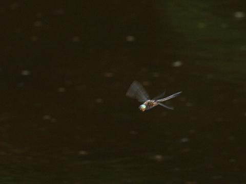 オオトラフトンボ♂飛翔