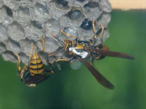 キアシナガバチ巣