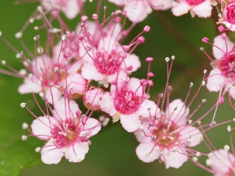 シモツケ花