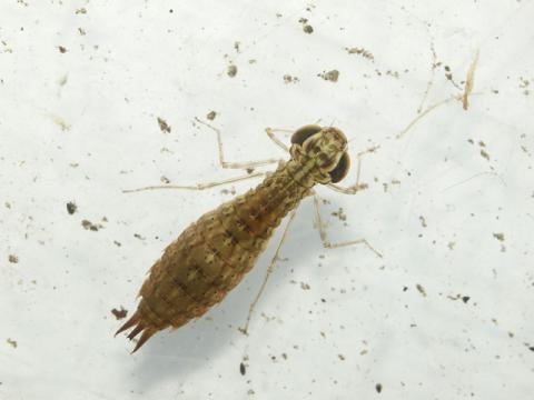 ギンヤンマ幼虫