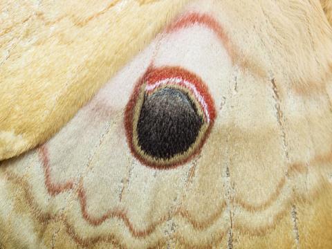 クスサン眼状紋