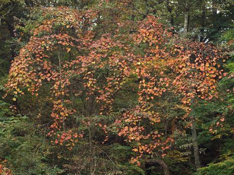 ヤマブドウ紅葉10