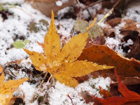 雪モミジ落葉