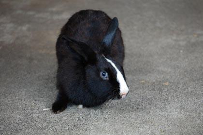白い鼻筋のウサギ